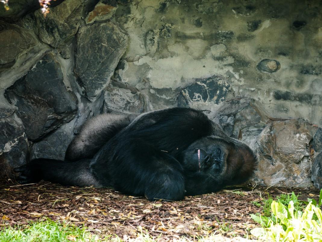 Opolskie zoo - goryle