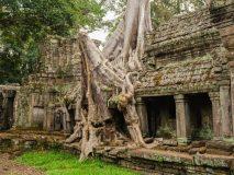 Drzewa Angkor Wat
