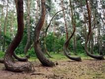 Krzywy Las. Nowy Czarnków pod Gryfinem