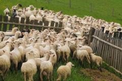 Mieszanie owiec