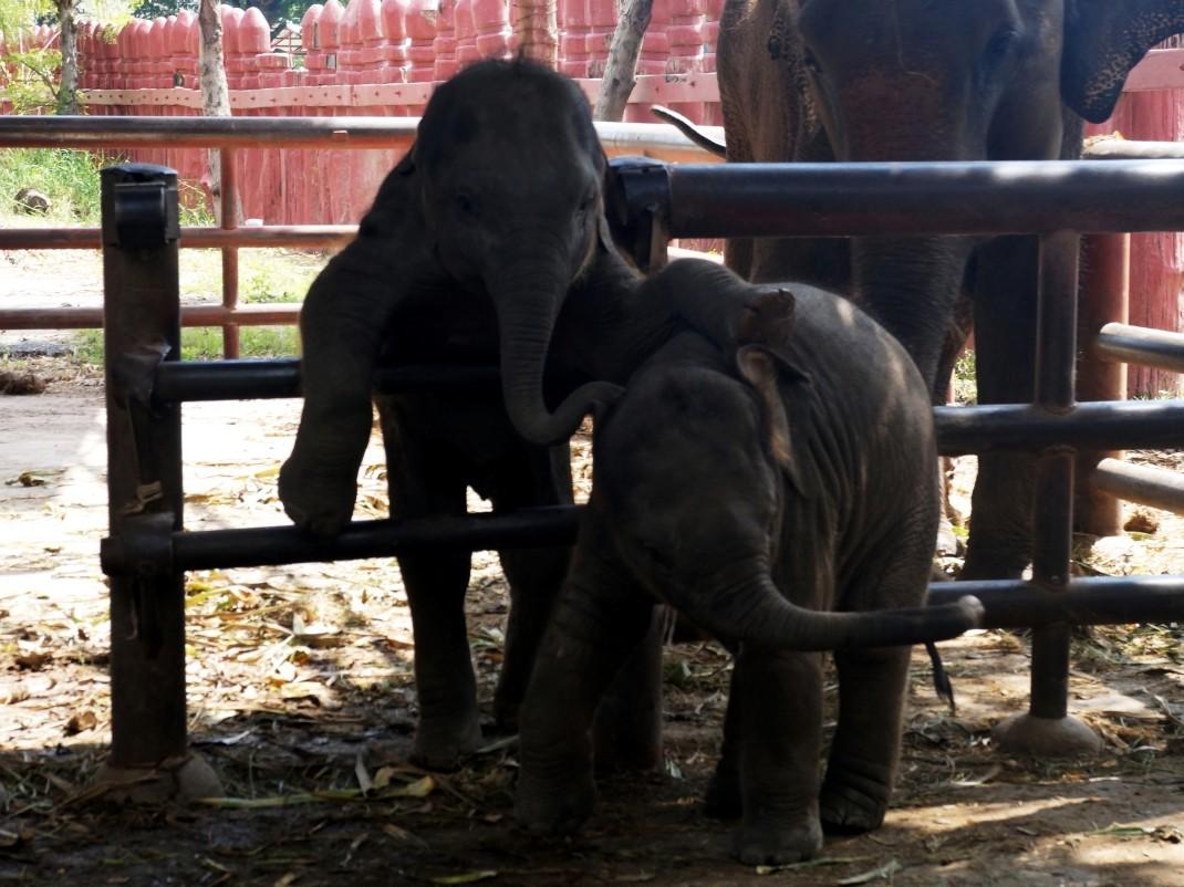 Ayutthaya. Z wizytą u słoni