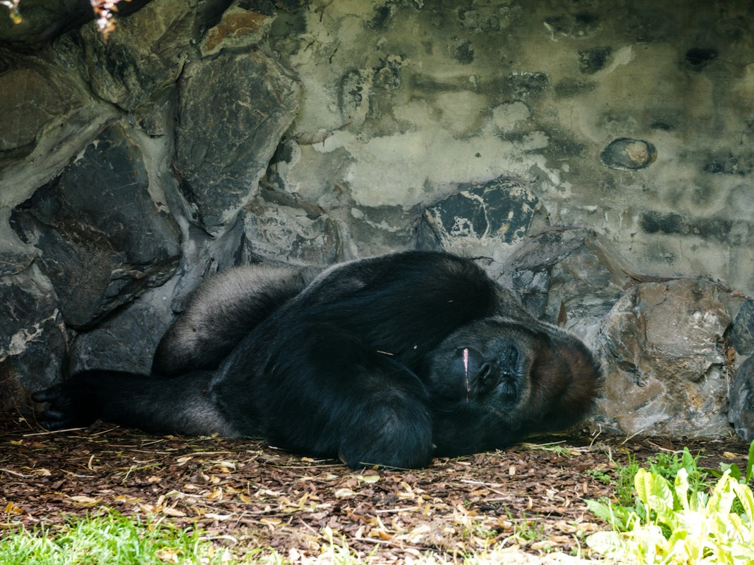 Atrakcje Opola - zoo - goryle